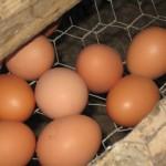 Oeufs bio élevage poule Philippe Bonvallet
